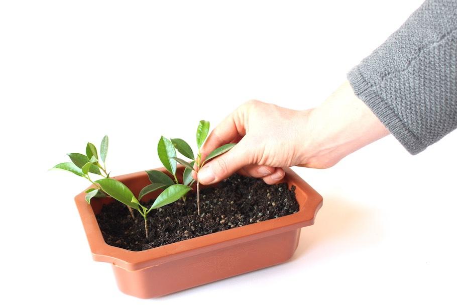 Як проростити дерево