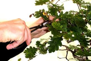 Podar bonsai