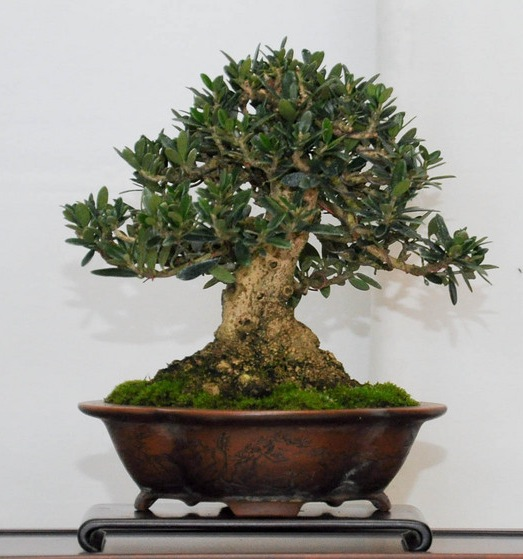 Olea Europaea, Olive Bonsai tree