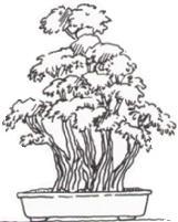 Estilo Bonsái Kabudachi, múltiples troncos