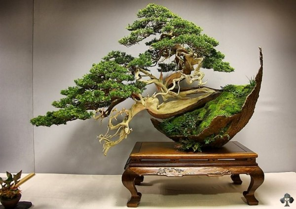 Juniper Bonsai tree by Luis Vila