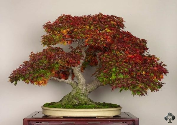 Maple Bonsai by Michael
