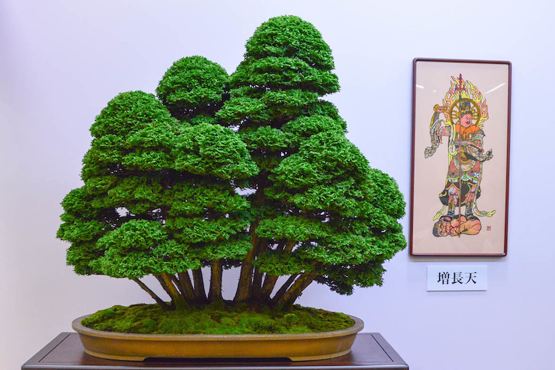 Ciprés Bonsai
