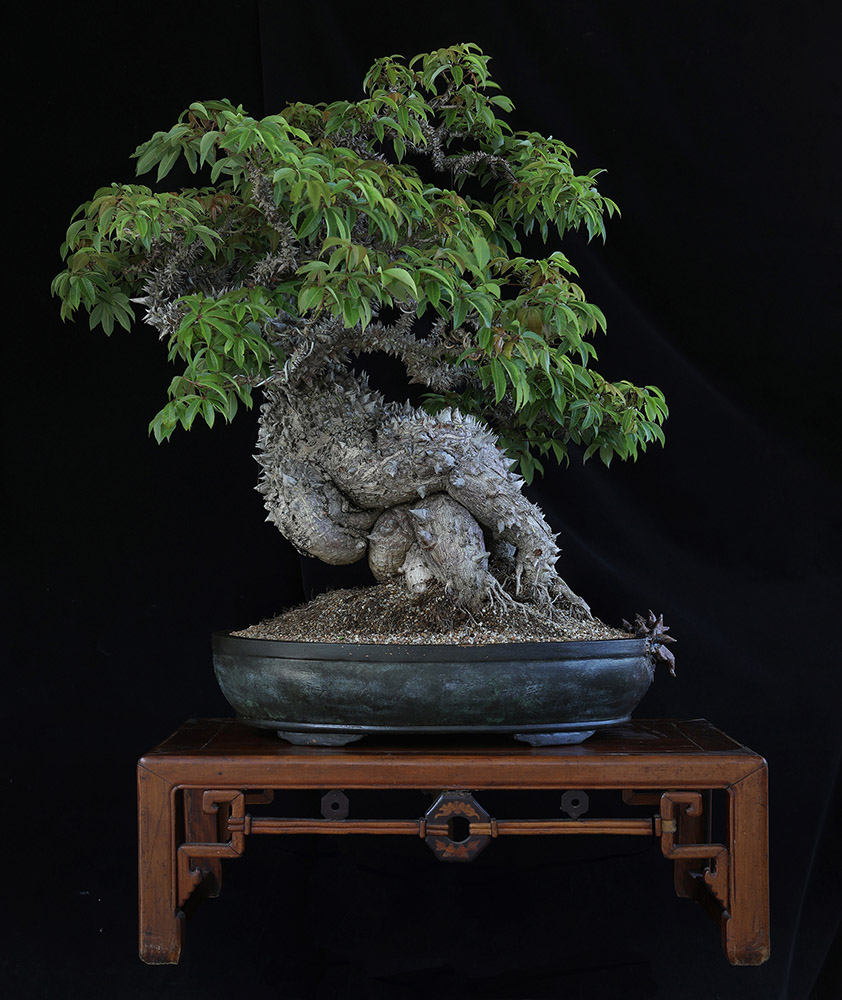 Dragon bonsai, espalda