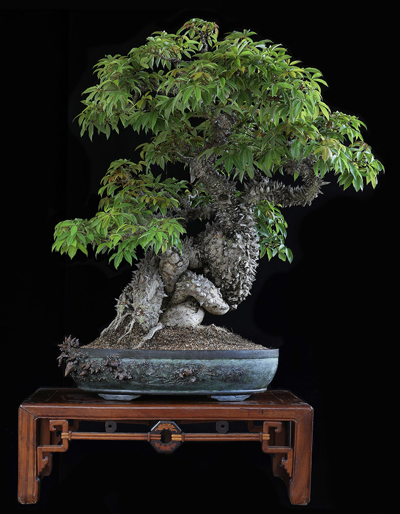 Dragon bonsai tree