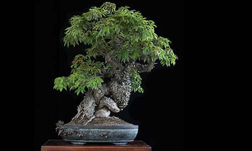 El Bonsai Dragon