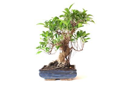 Guía Para El Cuidado Del Bonsái De Ficus Ficus Retusa Ginseng O