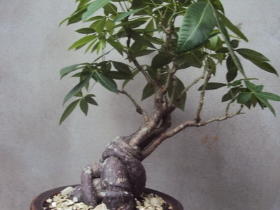 Identificar Mi Bonsai Guia De Identificacion De Los Arboles Bonsai Empire
