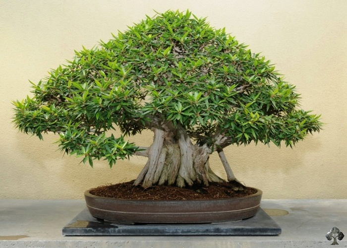 Ficus fig Bonsai tree