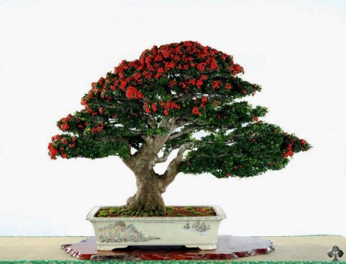 Flowering Penjing tree